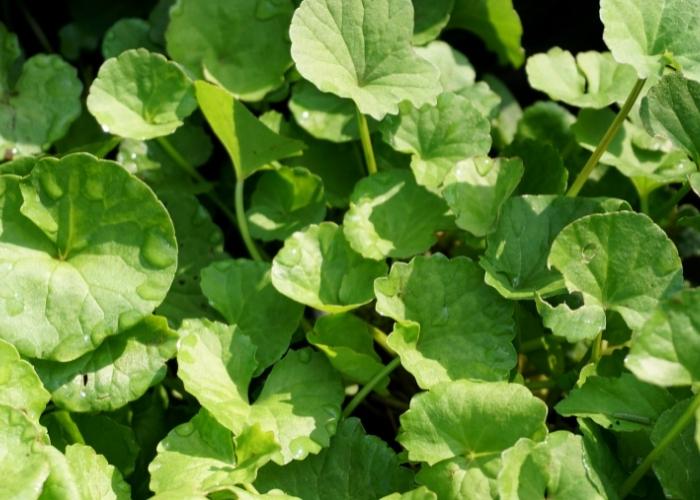 Centella Asiatica: Nedir, Cilde Faydaları Nelerdir?